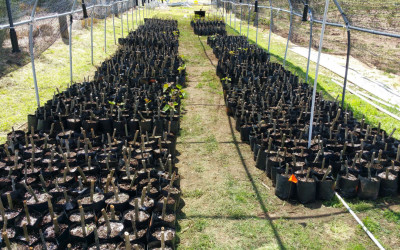 Rooting various Jatropha cultivars at JatroBiofuels farm
